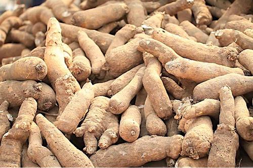 l-itra-met-des-varietes-ameliorees-d-igname-a-disposition-des-producteurs
