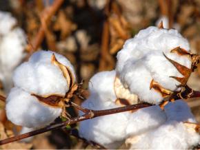 coton-olam-investira-4-6-milliards-fcfa-pour-porter-la-production-a-135-000-tonnes-en-2022