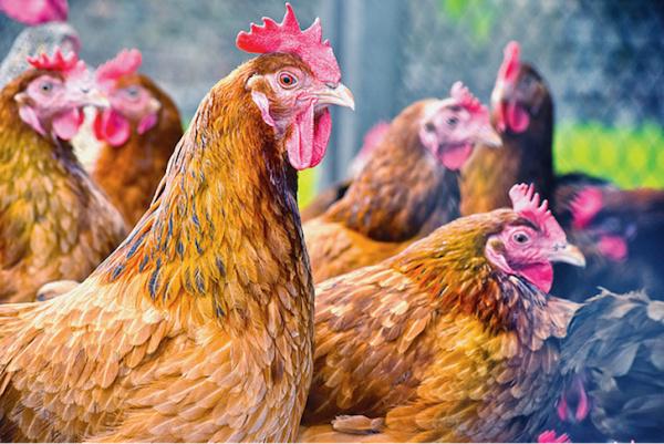 le-togo-tente-de-prevenir-une-eventuelle-grippe-aviaire