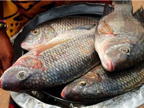 le-gouvernement-met-en-garde-les-importateurs-illicites-de-tilapia-sur-les-marches-togolais