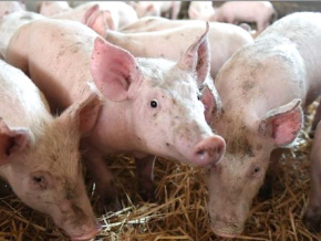 une-infection-de-peste-porcine-africaine-declaree-dans-la-prefecture-de-l-ave