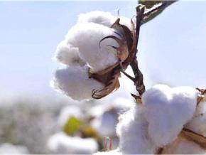 hausse-des-recettes-d-exportations-de-coton-en-2019