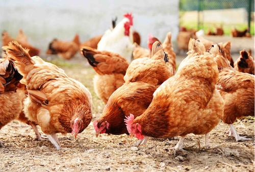la-production-avicole-pourrait-tripler-d-ici-2023