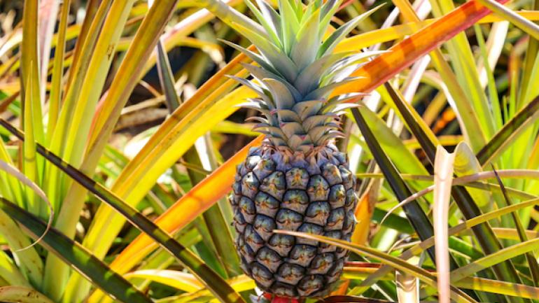 les-filieres-ananas-et-mangue-en-plein-essor-au-togo